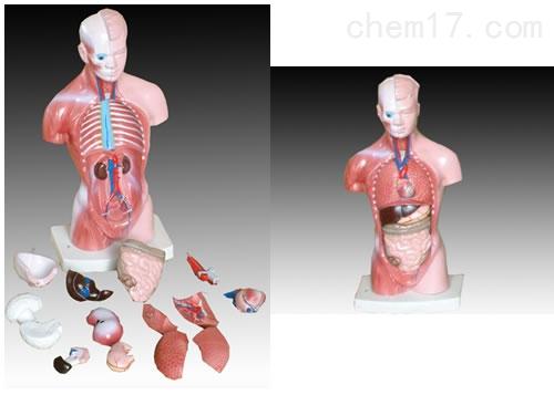 26CM躯干模型 人体各大器官