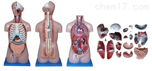 85CM无性躯干模型20件  人体各大器官
