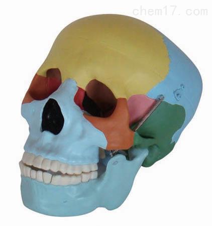 彩色自然大头骨模型 人体各大器官