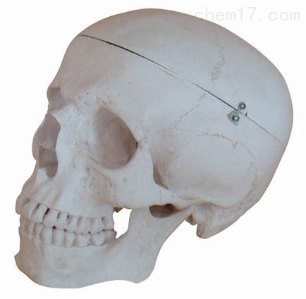 高级头骨模型A型 人体各大器官
