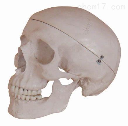 高级头骨模型B型 人体各大器官