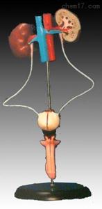 男性泌尿生殖系统解剖模型 人体各大器官