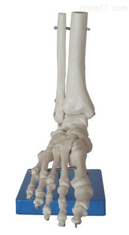 足关节模型  人体各大器官