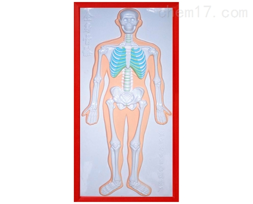 骨骼系统浮雕模型