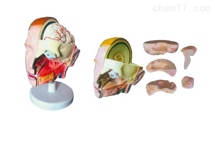 头解剖附脑模型(6部件)