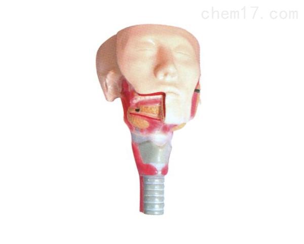 唾液腺及咽肌解剖模型