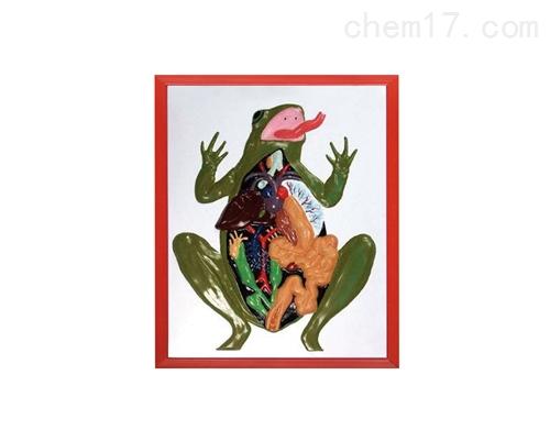 蛙解剖浮雕模型