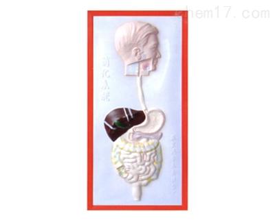 消化系统浮雕模型