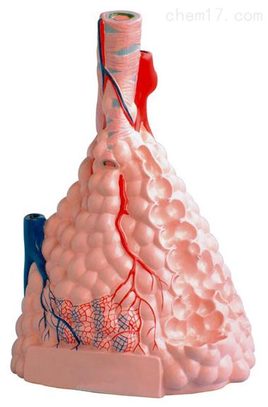 肺泡放大 生物模型