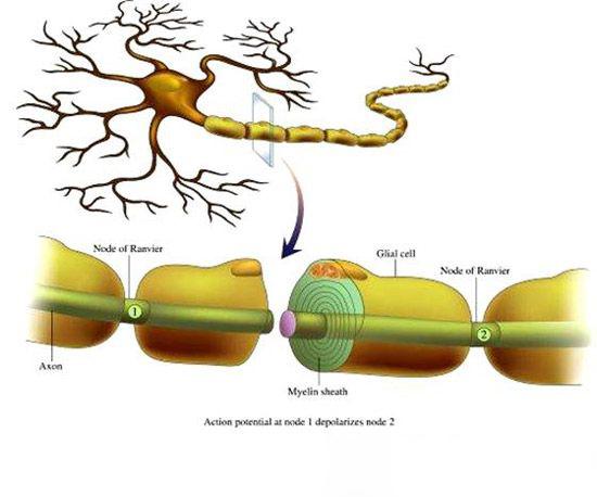 科学家利用光遗传学研究震荡信息能够在细胞间传递