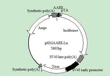 荧光素酶报告