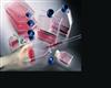 EB病毒转化的人B淋巴细胞;KMYF
