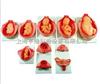 上海胎儿妊娠发育过程模型