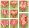 GD/A42005高级妊娠胚胎发育过程模型