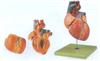 GD/A16007成人心脏解剖放大模型