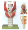 GD/A13005喉结构与功能放大模型
