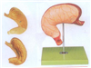 GD/A12002胃及剖面模型